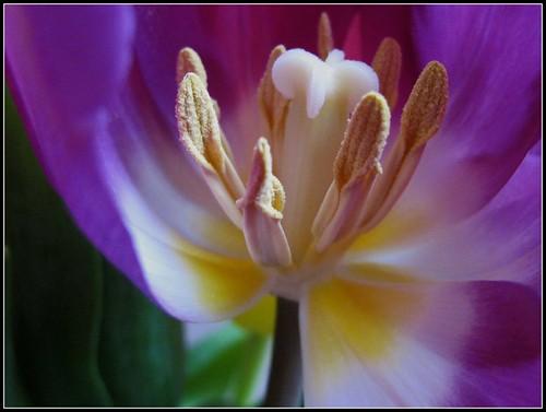 Stigma, Style  and Stamens : Tulip