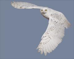 3 (gainesp2003) Tags: bird colorado snowy wildlife birding hunting owl co prey predator hunt feedling gainesp2003 patgaines