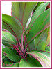 Closeup: Cordyline terminalis or C. fruticosa (pink/green variety), in the neighbourhood