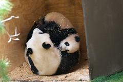 Bai Yun and Yun Zi Saturday 1.23.2010 (Rita Petita) Tags: china california panda sandiego giantpanda sandiegozoo baiyun pandas pandacub yunzi