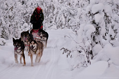 sled dog team mushing along winter trail