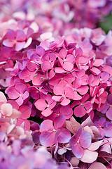 33584 (Clive Nichols) Tags: hydrangea shrub hortensia mophead macrophylla hortensis ramst clivenichols flickrhydrangeas