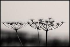 trio (composingfun) Tags: winter bw plant silhouette digital photoshop d50 germany nikon raw dof 85mm toned schwarzweiss tristesse selfsimilarity d5085mm selbstähnlichkeit nikonflickraward 4tografie