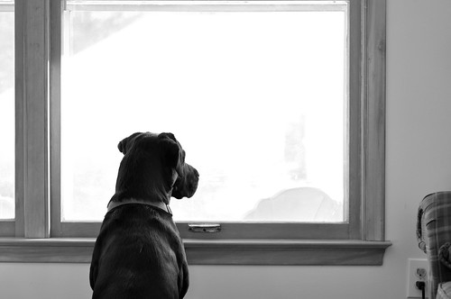 Labrador looking out window