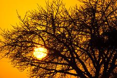 _IGP1125 (orang_asli) Tags: africa sunset tree nature landscape southafrica nationalpark champs fields paysage arbre contrejour coucherdesoleil flore lieux afrique période aficionados againstthelight hluhluwe bushveld naturel afriquedusud savane parcnational géographie effetspécial dicotylédone pžriode gžographie effetspžcial dicotylždone