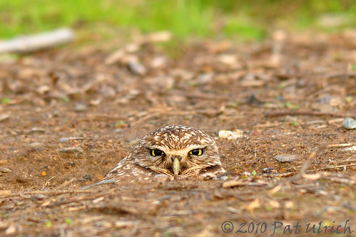 Camouflaged burrowing owl