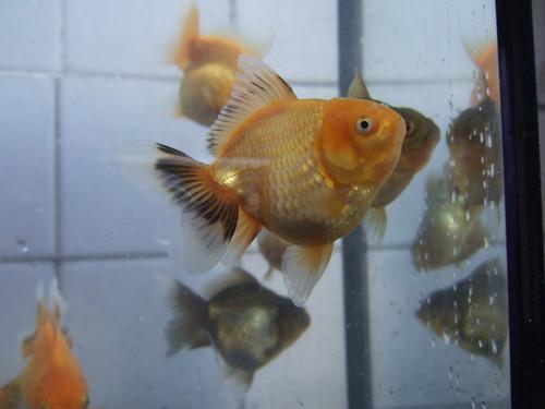 Baby oranda - Fynnmood Goldfish Forum