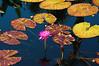 Spring Will Be Here Soon (DigitalLUX) Tags: pink flower beautiful pond waterlily miami flor explore waterlilies estanque coralgables southflorida nenúfar nenúfares waterplant rosado fairchildtropicalgarden abigfave aplusphoto