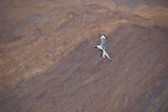 Brown headed gull--Ladakh !! (Dreamzzzz....) Tags: india bird gull ladakh jammuandkashmir brownheadedgull pangyongtso pangyonglake
