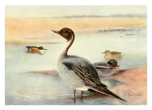 005-Anades-Egyptian birds for the most part seen in the Nile Valley (1909)- Charles Whymper