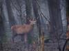 Red deer in the misty dense woodland (B℮n) Tags: birds fauna topf50 vogels goose naturereserve amphibians mammals topf100 topf200 wildhorses reddeer flevoland brantacanadensis ecosystem snowylandscape avifauna tms wildanimals redfox oostvaardersplassen tellmeastory winterinholland staatsbosbeheer konikhorses edelhert konikpaarden almerebuiten oostvaarderplassen 100faves 50faves zoogdieren 200faves grauweganzen grotecanadesegans mysticmoment amfibieen winter2010 edelherten heckrunderen heckcattle bosdomesticus densewoodland mistywoodland manybirdspecies ingangkottertocht largegrazinganimals strongestwillsurvive harshwinterkillsdutchwildlife herbivorestokeeptheareamoreopen heckrundafstammenoeros uniquenatuurgebied dutchpolderlandscape haastonnederlandseaanblik hashwinter2010 naturereserveinthenetherlands wildlifeinthewinter winterstarvation wildernessinthecentralpartofthenetherlands lelydstad greatcanadagoose runderrassen heckbull prachtigwintervergezichten reddeerinthewild eatenbark dutchprairieinwintertime nodisturbance reddeerinthefog