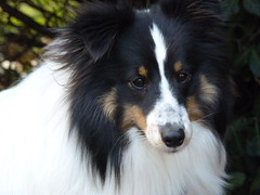 Gorgeous boy! (Indy di) Tags: wolfie dog pets sheltie adorable shetlandsheepdog fz35 panasonicfz35 indydi