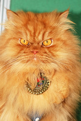 Garfi-With Necklace (E.L.A) Tags: family pet pets cute animal cat turkey fur photography necklace kitten feline ab kittens istanbul domesticanimals garfield domesticcat persiancat catportrait catpictures catphotos lookingatcamera catimages abigfave nikond80 bestcatphotos saariysqualitypictures mygearandmepremium mygearandmebronze mygearandmesilver mygearandmegold mygearandmeplatinum differentcatbreeds