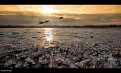 Ice accumulates (Explore Front Page) (Alex Verweij) Tags: winter sun ice water canon netherland zon sunbeam riet 1022mm flevoland almere ijs stralen weerwater explorefrontpage 40d accumulates flickrdiamond dedoka alexverweij aangroeien