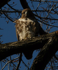 Fluffy Red-Tailed Hawk in Tompkins Square Park