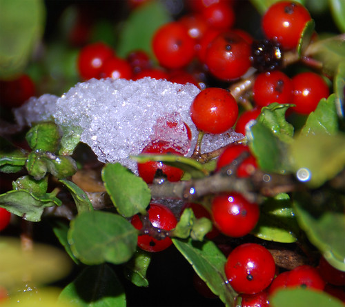 More-Snow-and-Berries