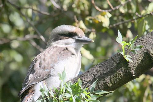 Kookaburra at Unley