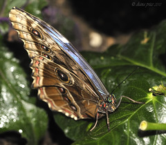 Blue Morpho (dizzyanna) Tags: macro nature closeup butterfly insect nikon wisley morphopeleides bluemorpho sigma105mm ccmpbutterfly nikond700