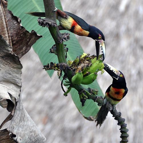 Collared Aracari