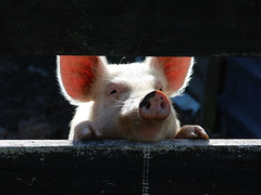 [フリー画像] [動物写真] [哺乳類] [豚/ブタ] [覗く/見る]       [フリー素材]