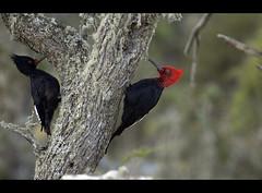 Pareja de carpinteros (Jos de Pablo) Tags: campephilusmagellanicus islariesco thewonderfulworldofbirds minainvierno