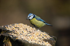 Plenty of food for all on the tree stump (dave millers photos) Tags: blue nature birds tit durham low barns reserve co british
