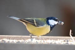 Feast (dave millers photos) Tags: nature birds tit durham low great barns reserve co british