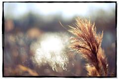 A Puff of Grass and Sunlit Bokeh (Proleshi) Tags: light naturaleza sun sunlight reflection nature grass 50mm natural bokeh 14 naturallight sunlit afs waterreflection d60 proleshi bathedinsu