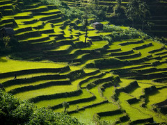 Terrace rice fields, Yunnan, China (Eric Lafforgue) Tags: china green field landscape rice terrace terrasse vert explore  paysage kina chin cina chine riz xina    tiongkok  chiny  kna in   trungquc na   kitajska tsina       a0006473