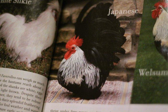 03-11-chickensmag1