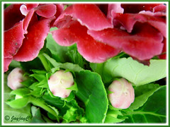 Sinningia speciosa (Florist's Gloxinia, Brazalian Gloxinia) - red double flowers and buds