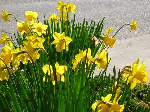 streetside daffodils