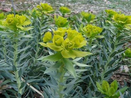Gopher Plant #2 (Flower) Odessa Texas