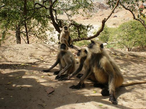 Impudent monkeys