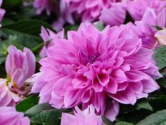 Dahlia (ddsnet) Tags: dahlia flowers plant flower sony hsinchu taiwan cybershot         eighteenpeaksmountain hx1