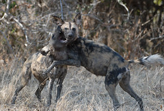 Wild Dogs playing, South Luangwa