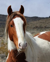 Wild Horses of Southern Nevada (Camera Wench) Tags: horses nevada stallions wildhorses mustangs mares southernnevadahorses