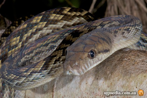 Scrub python (Morelia kinghorni)