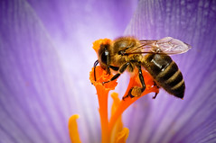 Bzzzzz (Sergiu Bacioiu) Tags: life flowers plants plant flower color macro floral colors animal closeup garden season insect fly leaf petals spring flora colorful close blossom outdoor details over petal bee honey colored pollen blooming