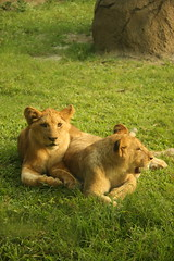 Lion Cubs (syntart) Tags: zoo cub lion taipeizoo