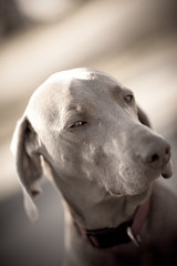 So Vain (Rudy Malmquist) Tags: family red dog pet face racetrack race nose track michigan grand canine rapids weimaraner collar racer weim