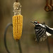 Mar 24th  2010 Male Downy Woodpecker-2