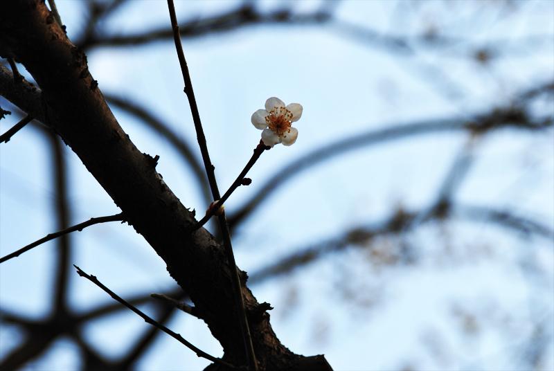 sakura-on-a-limb-800