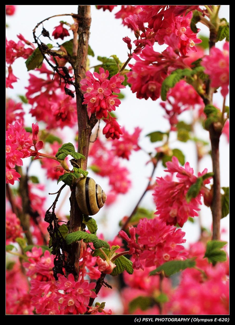 Grove Snail (Cepaea nemoralis)