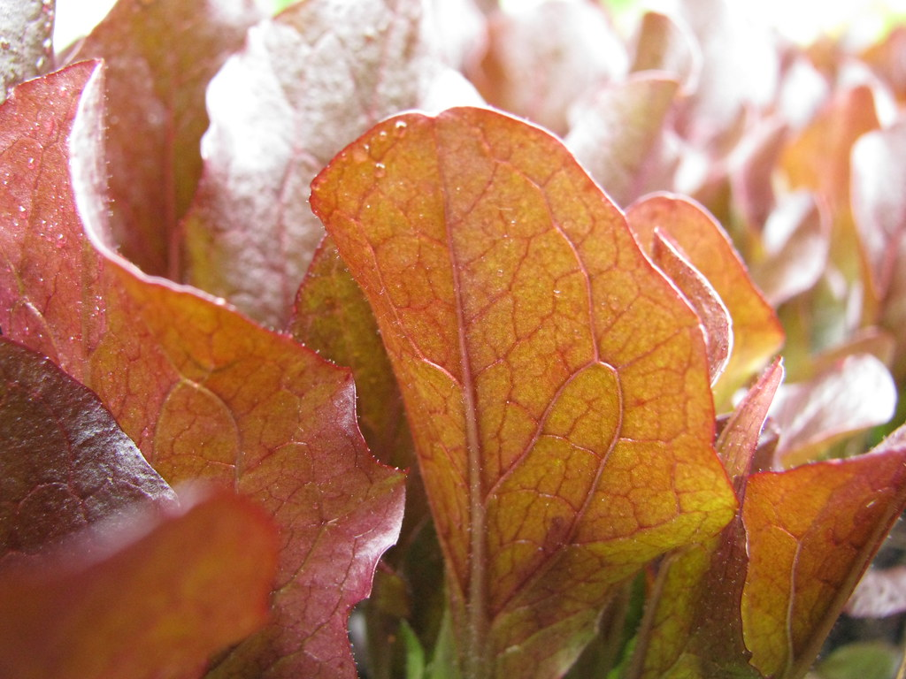 'Sea of Red' Lettuce