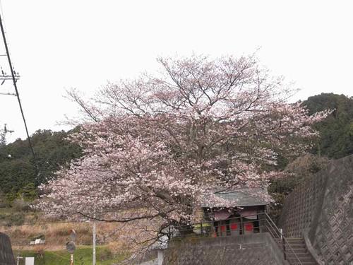 八講桜@桜井市-13