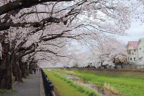 野川の桜並木 HDR 1