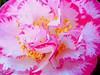 Happy Easter (bdaryle) Tags: pink flower nature yellow sony flor happyeaster brandondaryle bdaryle imagesbybrandon onlythebestofnature