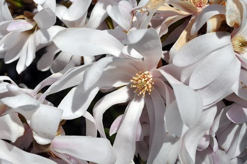 BBG Magnolia Brilliants