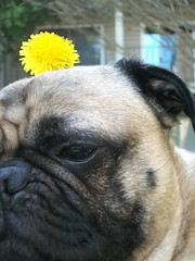 Flower Dog. (O'TOOLE ☮) Tags: flowers portrait dog brown black flower cute green dogs grass portraits mask pug snickers kawaii grasses pugs snicker canines